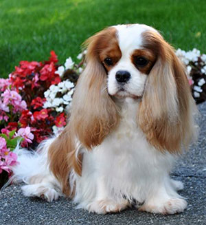The Companion Cavalier King Charles Spaniel